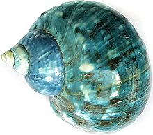 Lanzhi 1 Pc 11 cm Grand Vert Turbo Coquille de mer