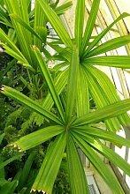 Licuala spinosa – Palmier de mangrove – 20