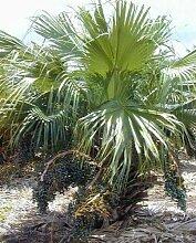 Livistona chinensis – palmier chinois – 10