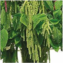 Lot de 100 graines de Queue de Renard vert Green