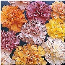 Lot de 100 graines Oeillet des fleuristes Fantasy