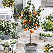 Mandarinier   Citrus Reticulata   Plante