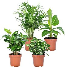 Mix 4 plantes FRESH   Plantes vertes