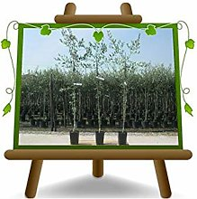 Olivier arbre olives Cipressino - Plante