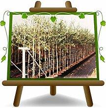 Olivier arbre olives moulin à huile - Plante