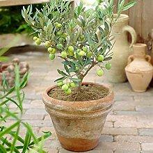 Olivier Olea Europaea - Plante Fruitière au