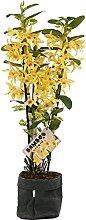 Orchidée – Bambou Orchidée en un effet de