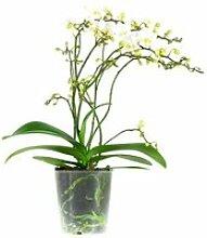 Orchidée Blanche - Phalaenopsis - Plante