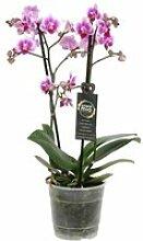 Orchidée de Botanicly – Orchidée papillon –