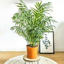 Palmier d'intérieur chamaedorea sans cache-pot