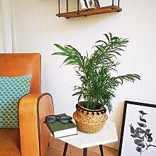 Palmier nain avec cache-pot