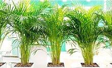 Palmiers d intérieur mixtes palmier de salon et d