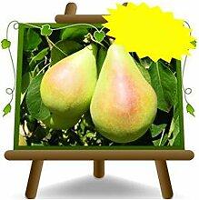 Peri Cuisse –Plante fruitière vieux porte