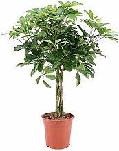 Plante d'intérieur – Arbre ombrelle –