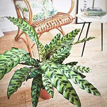 Plante d'intérieur calathea lancifolia sans