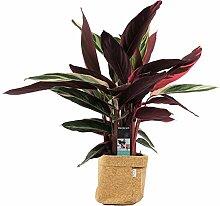 Plante d'intérieur de Botanicly – Calathea