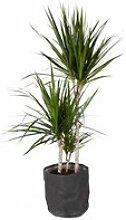 Plante d'intérieur de Botanicly –