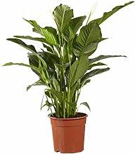 Plante d'intérieur de Botanicly – Fleur de