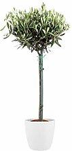 Plante d'intérieur de Botanicly – Olivier