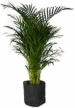 Plante d'intérieur de Botanicly – palmier