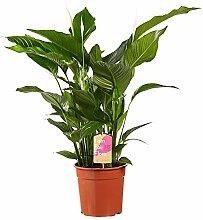 Plante d'intérieur de FAIR FLORA – Fleur de