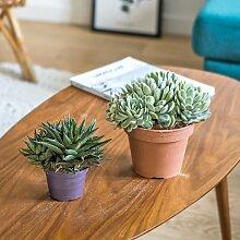 Plante d'intérieur grasse facile