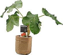 Plante d'intérieur – Jatropha podagrica en
