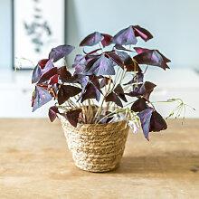 Plante d'intérieur : L'oxalis