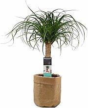 Plante d'intérieur – Noline recourbée en