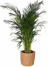 Plante d'intérieur – palmier d'Arec en