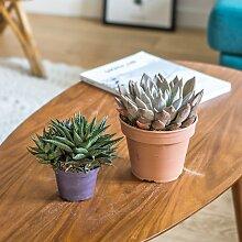 Plante d'intérieur succulente facile