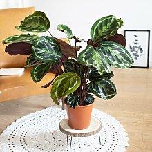 Plante d'intérieur tropicale calathea sans