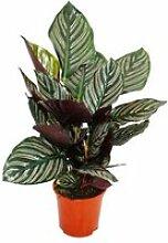 Plante d'ombre à motif de feuille inhabituel