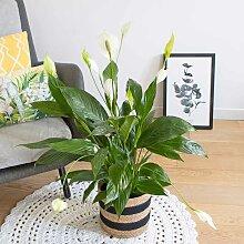 Plante fleur de lune avec cache-pot
