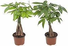 Plantes d'intérieur – 2 ×