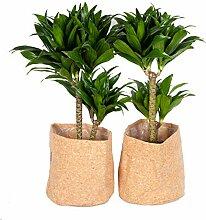 Plantes d'intérieur – 2 × Dragonnier en