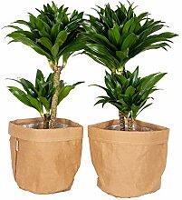 Plantes d'intérieur – 2 × Dragonnier en un