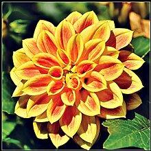 Plantes Vivaces En Pot Dahlia - Grandes Belles
