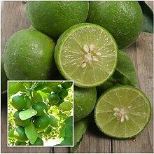 PLAT FIRM GRAINES DE GERMINATION: Citrus