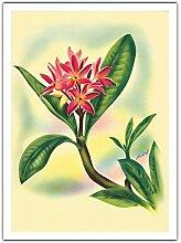 Plumeria Rose (Frangipanier) (Melia) de Ted
