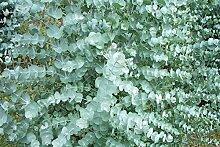 Portal Cool 1 X Grand Eucalyptus glaucescens Fiche