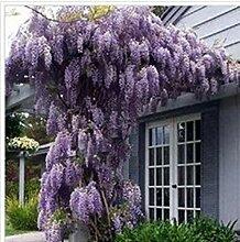 Portal Cool 10 graines/Paquet Violet Uk Wisteria