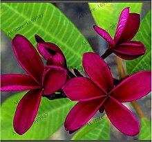 Portal Cool 20pcs Frangipani Plumeria rubra Fleur