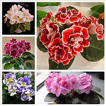 Portal Cool 50Pcs African Violet Fleur Saintpaulia