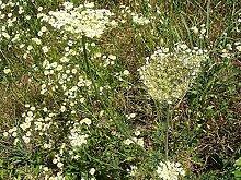 Portal Cool 750 Seeds'Anise Plante aromatique
