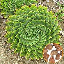 Portal Cool A1F8 100Pcs Aloe Polyphylla Graine