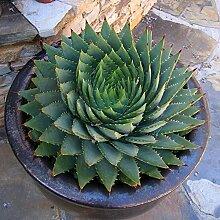 Portal Cool CCDD 100Pcs Aloe Polyphylla Graine