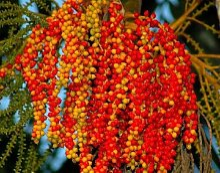 Ptychosperma macarthurii - MacArthur Palm - 10