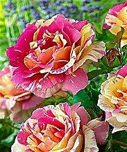 Purple: Ga 100 Rainbow Rose Seeds De beaux