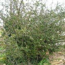 Pyracantha (pyracantha ventoux red) Jeune plant en